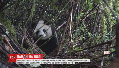 Маму-панду и ее детеныша выпустили в дикую природу в Китае