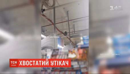 Побег Сашки: 3-летняя обезьяна сбежала из мини-зоопарка в магазин