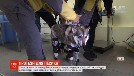 Зоозахисники зорганізували закупівлю протезів для собаки Майї, якій нелюди відрубали кінцівки