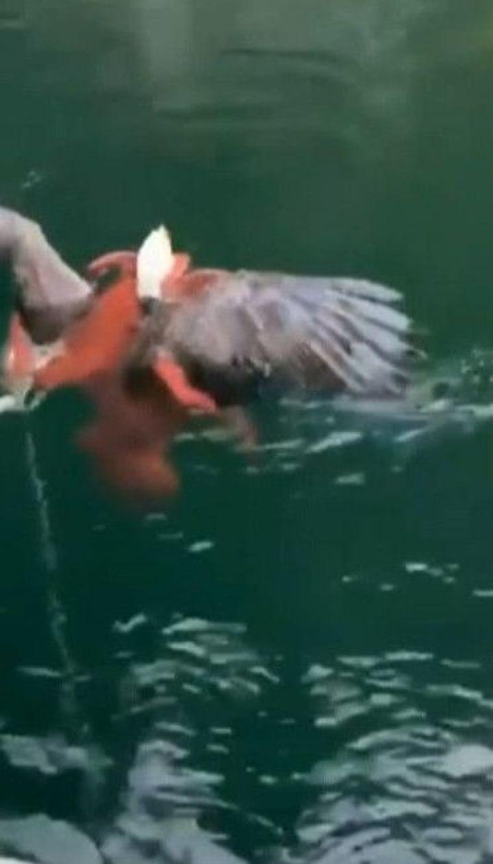 У Канаді орел напав на восьминога і ледве не втопився