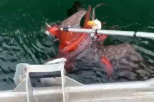 """Соцмережі """"підірвало"""" відео, як величезний орел уполював восьминога і ледь не втопився"""