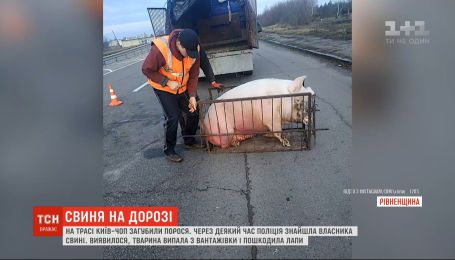 """Свиня випала з вантажівки на трасі """"Київ - Чоп"""": одразу кілька людей заявили, що тварина їхня"""