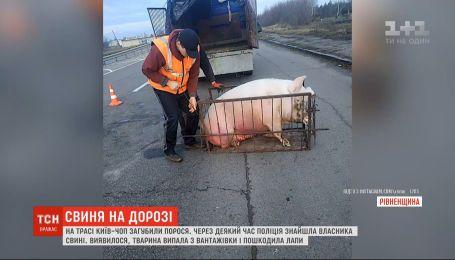 """Свинья выпала из грузовика на трассе """"Киев - Чоп"""": сразу несколько человек заявили, что животное их"""
