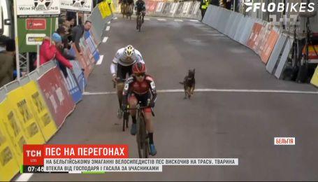На соревнования велосипедистов в Бельгии внезапно ворвался пес, сбежавший от хозяина