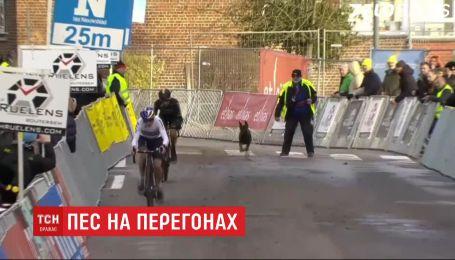 Сбежал от хозяина: в Бельгии пес выскочил на трассу во время велогонки