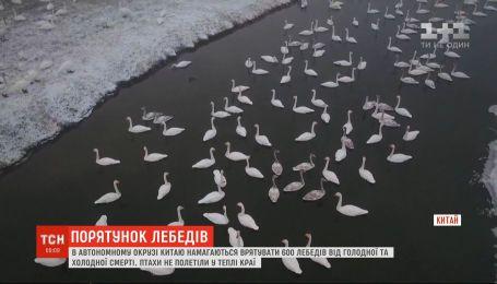 У Китаї 600 лебедів не полетіли у теплі краї та опинилися під загрозою смерті