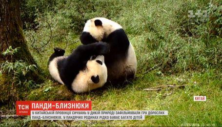В дикой природе засняли взрослых панд-близнецов