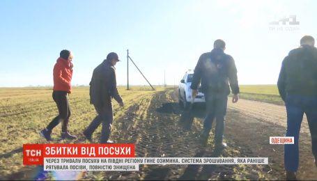 Через тривалу посуху на півдні Одещини гине озимина