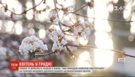 Апрель в декабре: во Львове зацвели калина и жимолость