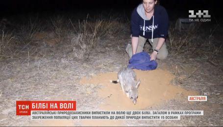 В Австралии в дикую природу выпустили еще двух билби