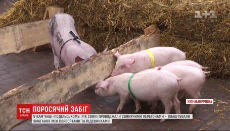 Поросячі перегони на честь року Свині, що минає, влаштували на Хмельниччині