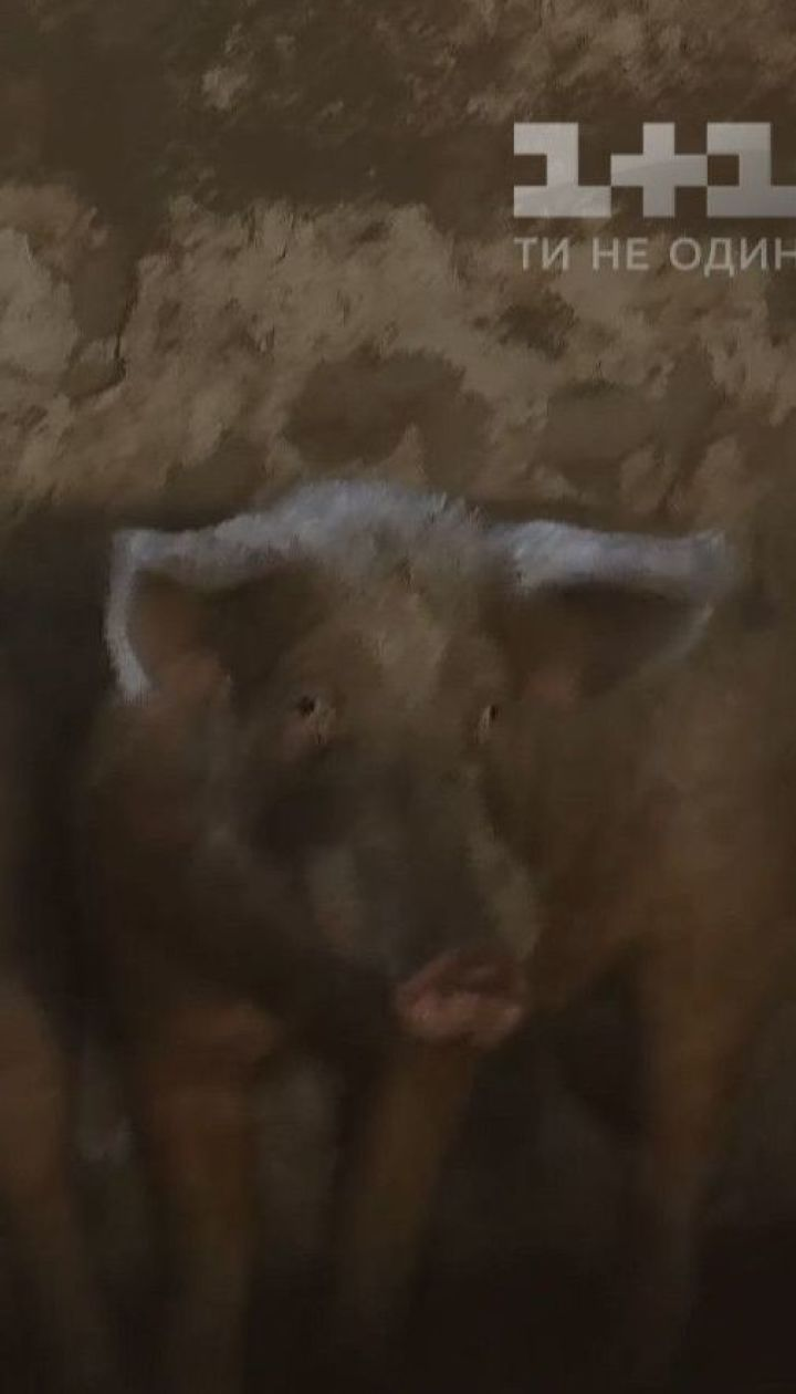 Какая судьба ждет стадо свиней, которое летом убежало из сарая и уничтожало огороды селян Кизливки