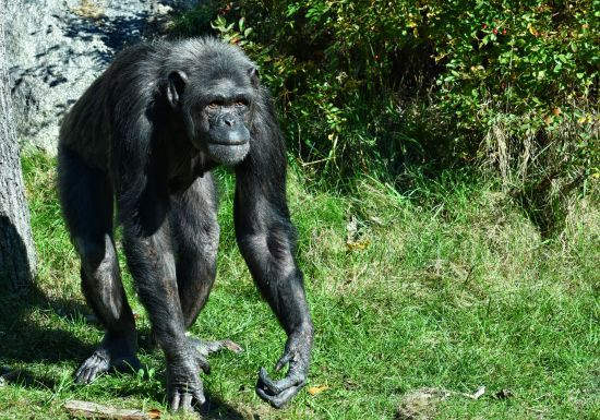 Шимпанзе люблять танцювати: цікаві результати досліджень