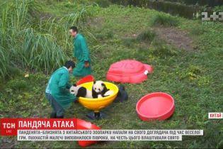 Ігри пухнастої малечі: панденята напали на свого доглядача у Китаї