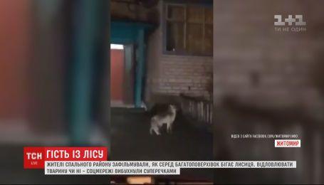 В Житомире жители спального района сняли, как лиса носится между многоэтажек