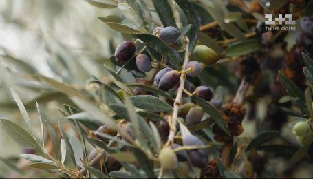Правила Сніданка на Кипре: изготовление оливкового масла и вкусности из ослиного молока