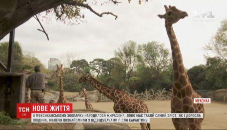 В мексиканском зоопарке публике представили маленького малыша жирафа