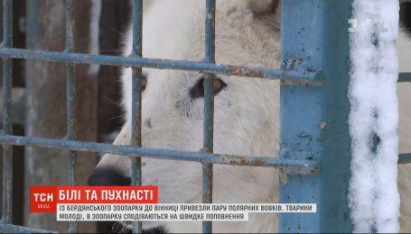 Пара полярних вовків оселилась у зоопарку Вінниці