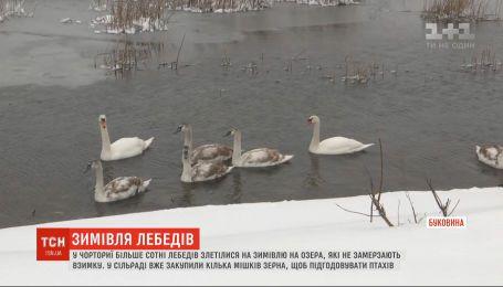 Лебедині озера: понад сотня птахів злетілася на зимівлю в Чорторию