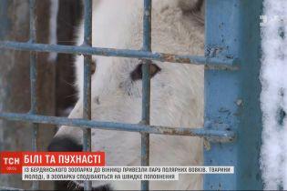 Пара полярных волков поселилась в зоопарке Винницы