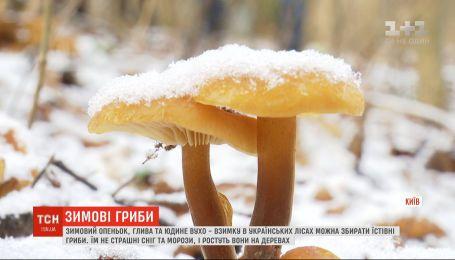 Какие грибы можно собирать зимой в украинских лесах
