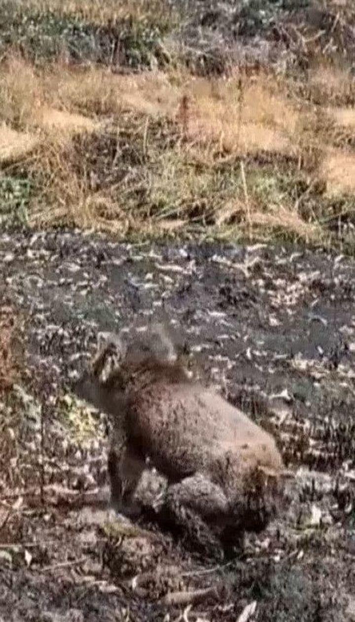 Миллиард животных могли погибнуть во время пожаров в Австралии - ученые