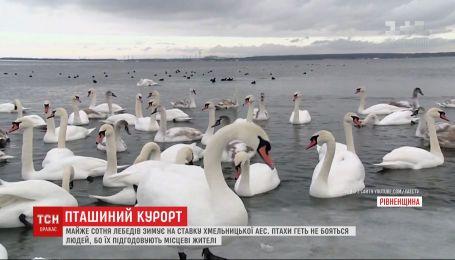 Майже сотня лебедів на потіху місцевим жителям зимує на ставку біля Хмельницької АЕС
