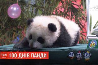 У китайському звіринці відсвяткували 100 днів від народження панденяти