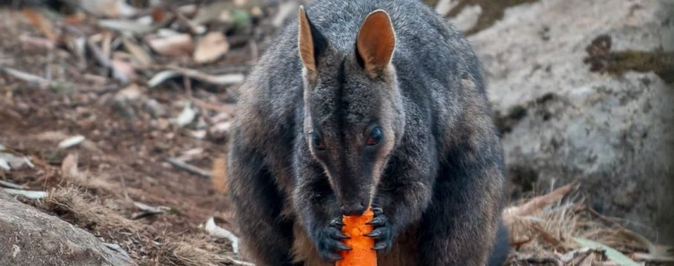 В Австралії з вертольотів скидають овочі для постраждалих від пожеж тварин