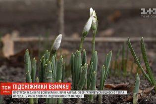 Из-за теплого января в Украине расцвели подснежники и ноготки