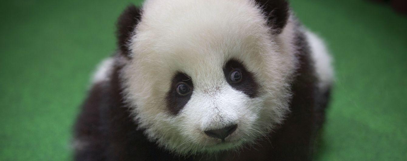 Розміром з куряче яйце: у Китаї народилась найменша панда у світі