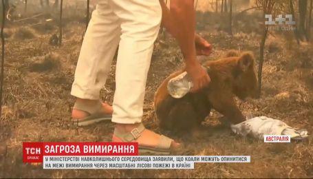 Коалы могут оказаться на грани вымирания из-за лесных пожаров в Австралии