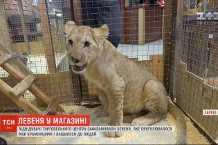 По торговому центру Харькова гулял львенок и ластился к людям