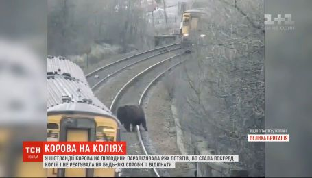 В Шотландии во время часа пик корова парализовала движение поездов