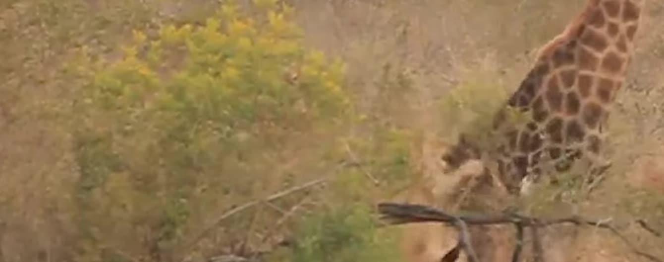 Сміливий жираф відбився від зграї левиць