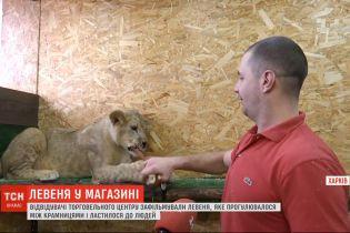 Львенок гулял торговым центром Харькова и ластился к посетителям