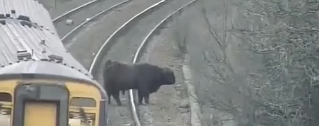 В Шотландии бык-беглец перекрыла путь и задержал поезд