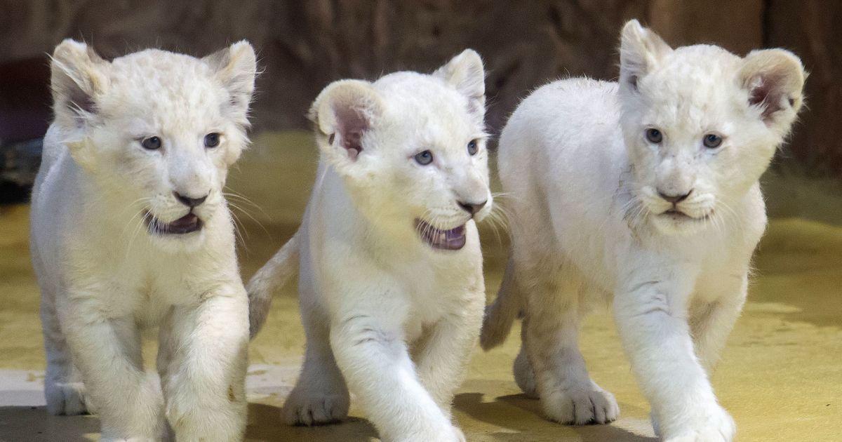 У німецькому зоопарку показали трійцю рідкісних білих левенят