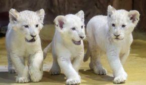 В немецком зоопарке показали троицу редких белых львят