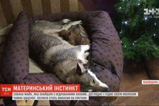 На Львовщине собака, которую в прошлом году нашли с отрубленными четырьмя лапами, приютила двух щенков