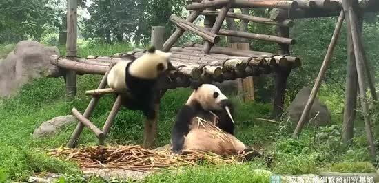 Мережу смішить кумедна панда, яка налякала свою матір