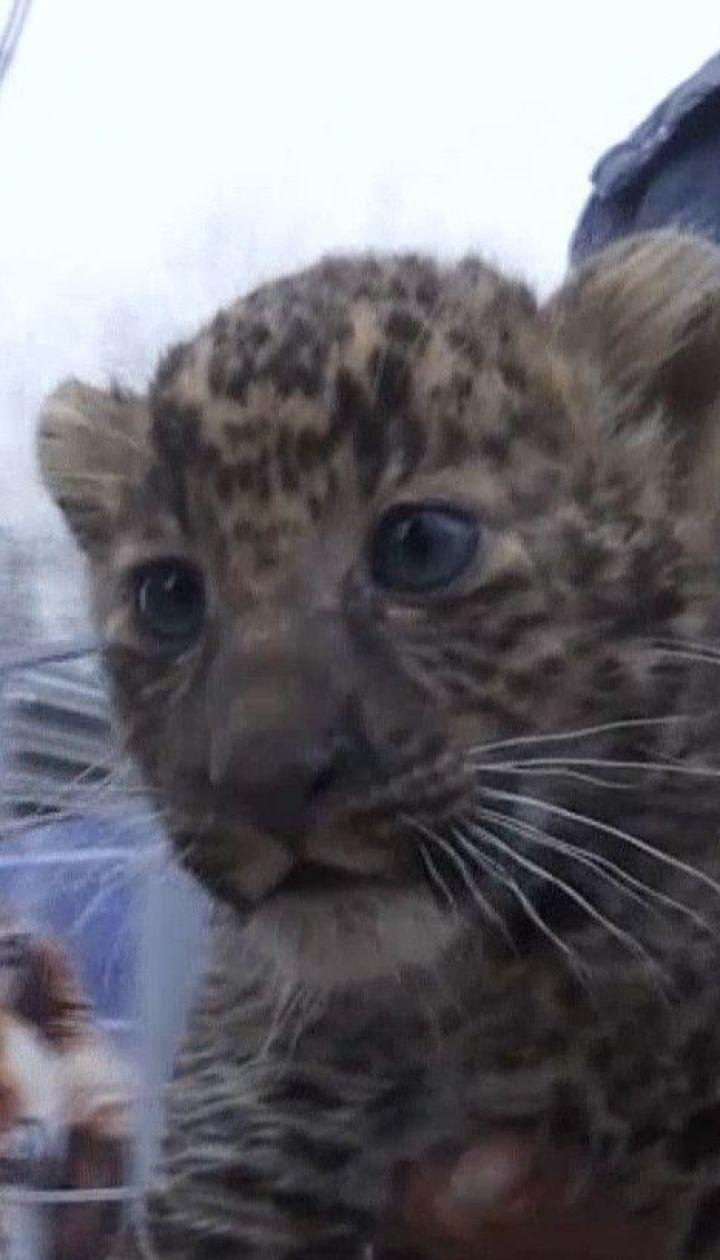 У Маріупольському зоопарку публіці уперше показали двох малюків леопарда