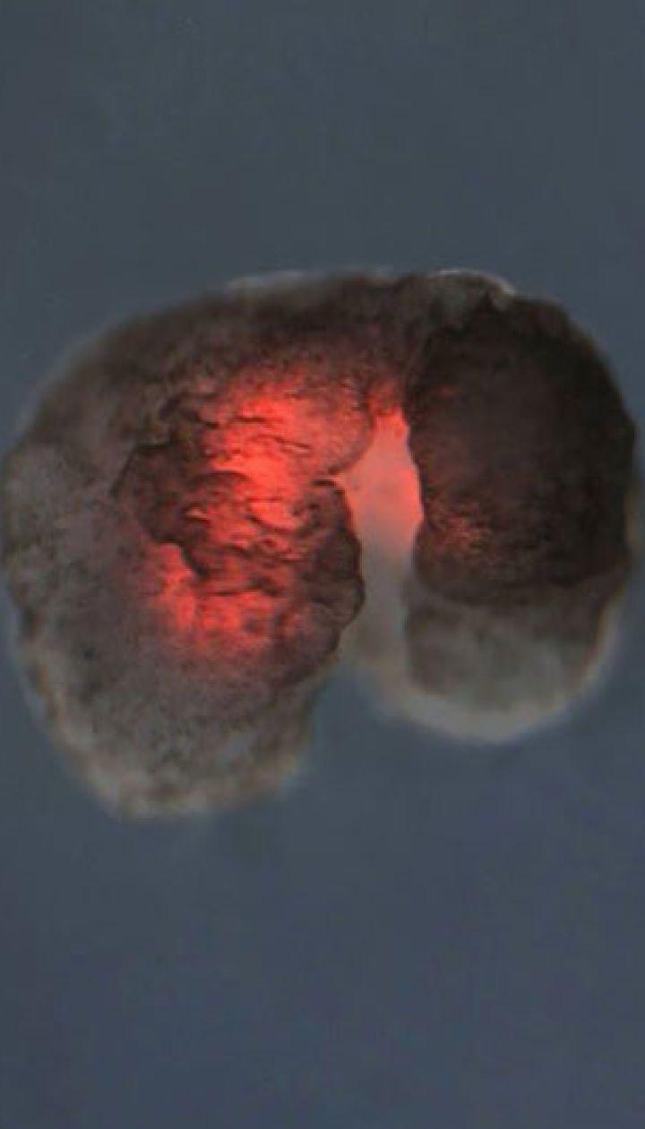 Американські вчені оголосили про створення абсолютно нової форми життя: ксеноботів