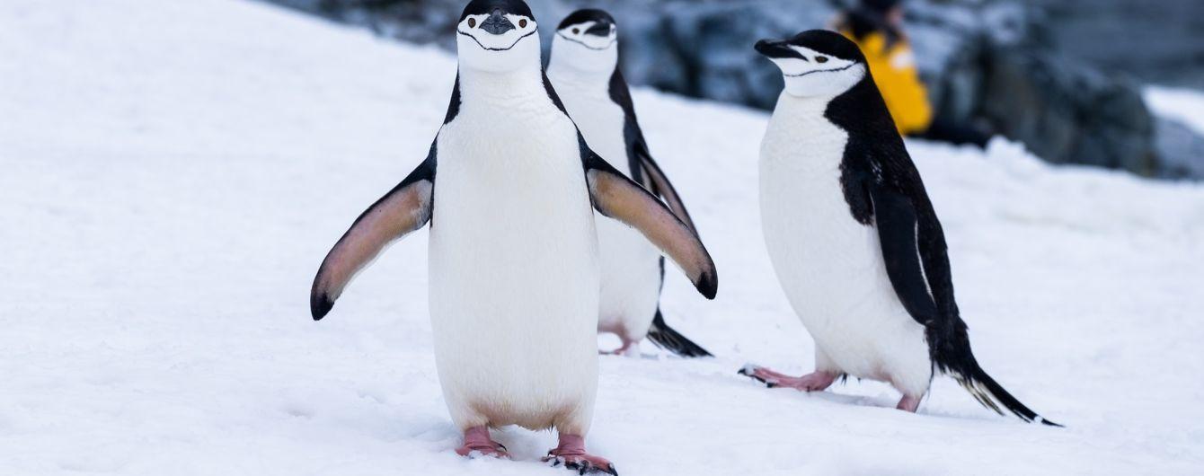 В Антарктиде исчезают колонии пингвинов. Ученые винят климатические изменения