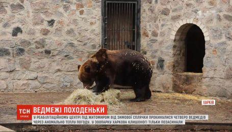 Під Житомиром через теплу погоду від зимової сплячки прокинулися ведмеді