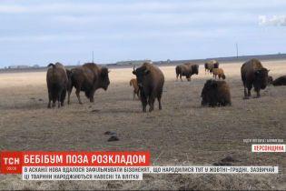 В Аскании-Нова засняли маленьких бизонов, которые родились в октябре-декабре