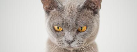 В России кошка загнала хозяйку на кухню и терроризировала ее два дня подряд