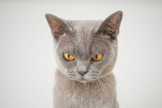 У Росії кішка загнала господарку на кухню і тероризувала її два дні поспіль