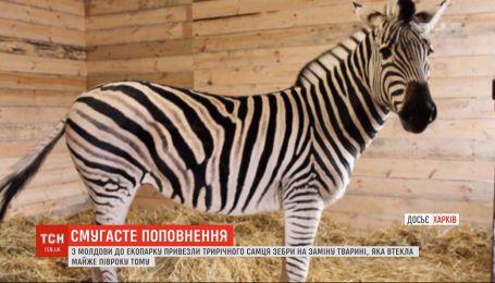 В харьковском экопарке появилась новая 3-летняя зебра из Молдовы