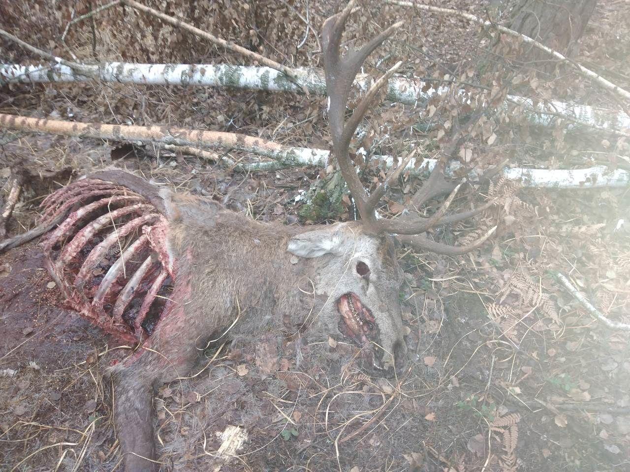 вбиті олені у президентському заповіднику 2